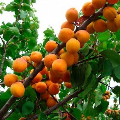 """Саженец абрикоса """"Ледана"""""""