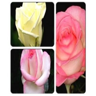 Роза > коллекция из 3-х сортов: Роза Белла Вита => Роза Аваланж => Роза Россини