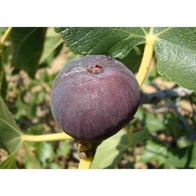 Инжир Сухумский фиолетовый: цена и описание сорта