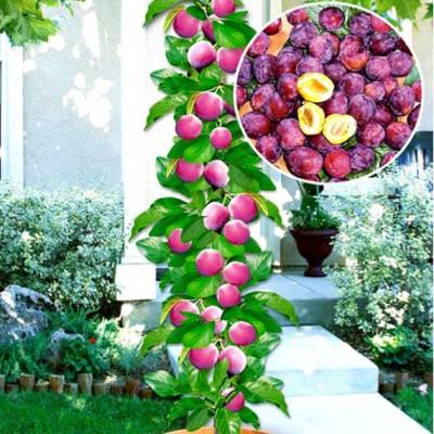 Слива колоновидная Муравушка: цена и описание сорта
