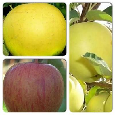 Яблоня - коллекция саженцев из 3-х сортов: Яблоня Богемия Голд => Яблоня Яблоня Бребурн => Яблоня Гибсон