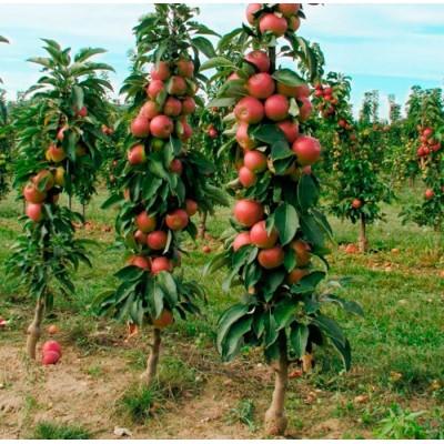 Яблоня колоновидная Ильма: фото и описание сорта