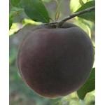 "Саженец абрикоса ""Шлор Циран"""