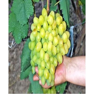 """Виноград """"Галахад"""": цена и описание сорта"""