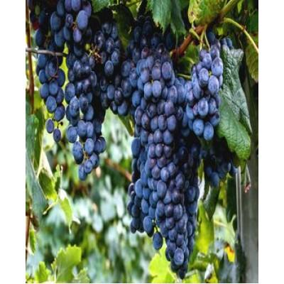 """Виноград """"Изабелла"""": фото и описание сорта"""