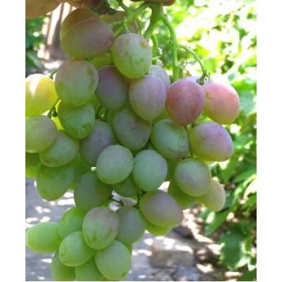 "Саженец винограда ""Маисей"""