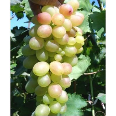 """Виноград """"Мечта"""": отзывы и описание сорта"""