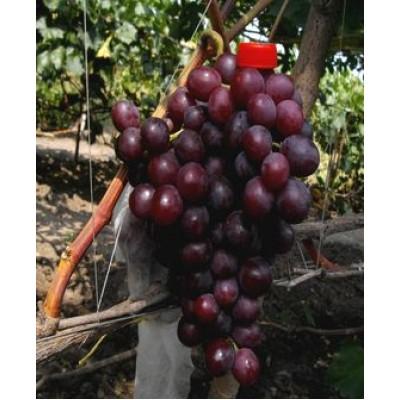 """Виноград """"Нина"""": фото и описание сорта"""