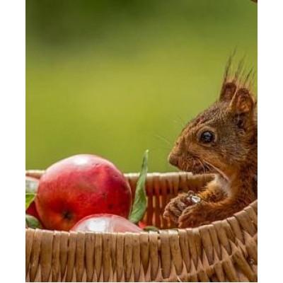 """Яблоня """"Эрли мак"""": фото и описание сорта"""