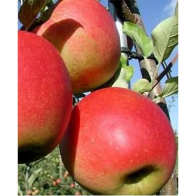 "Яблоня ""Сансе"": цена и описание сорта"
