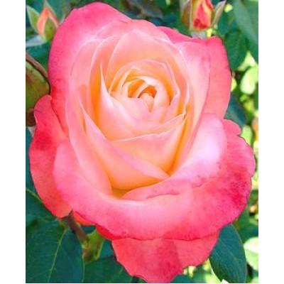 """Роза """"Белла Перла"""""""