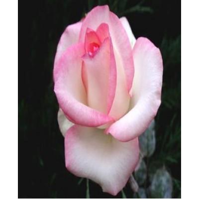 """Роза """"Белла Вита"""": отзывы и описание сорта"""