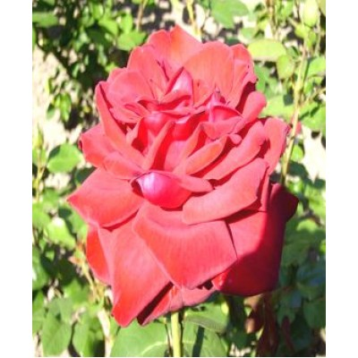 """Саженец розы """"Бургунд"""""""
