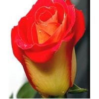 "Саженец розы ""Френдшип"""